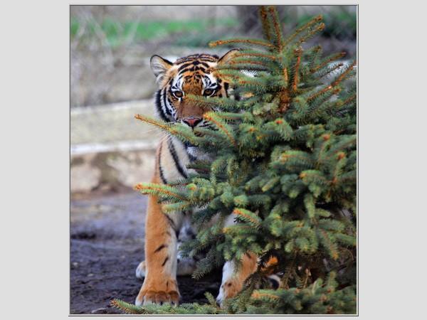 Тигр из Сафари-парка возле Геленджика