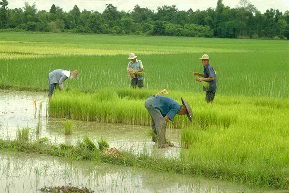 Китайцы на рисовом поле