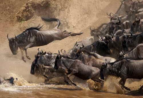 Кения антилопы гну