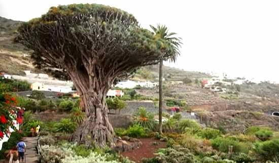 тенерифе драконово дерево