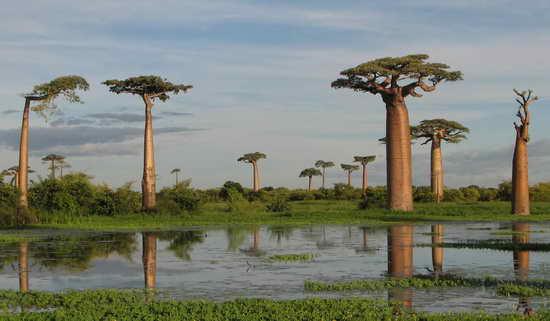 Мадагаскар Баобабы
